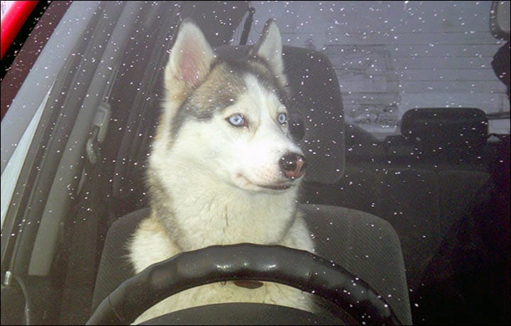 Husky Crashes car! - Picture: Galina Baranova