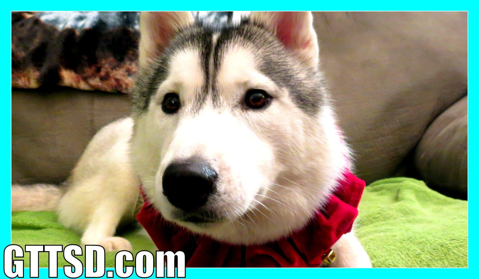 Siberian Husky Howling Dog Howl Snow Dog Short 25 Gone To The