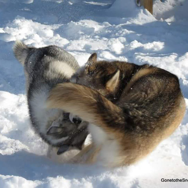 Husky Ying Yang Hehe Gone To The Snow Dogs Siberian