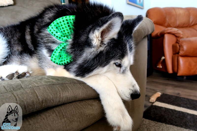St Patrick's Day for Dogs